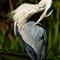 heron_preening