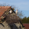 A couple of white storks building a nest on an old barn. Harprich, Moselle, France