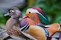 A Mandarin duck couple