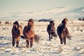 A nice group of icelandic horses.