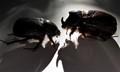 Rhinoceros Beetles