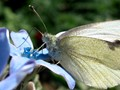 Cabbage White Butterfly Feeding