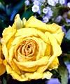 Aged Yellow Rose