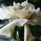 Gardenia #1