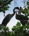 Blue Herron Bird Fight
