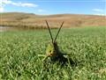 Pyrgomorphid Grass Hopper