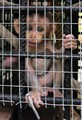 Precious  - Macaque