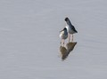 """A couple of spotted redshank (""""Tringa erythropus"""")  in spring"""