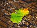 An Autumn Leaf in a Stream