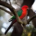King Parrot~Australia