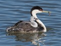 Western Grebe  with Chick on Board at Bear River Migratory Bird Refuge, UT