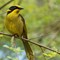 Helmeted honey eater