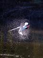 Caspian Tern Twisting Mid-Air