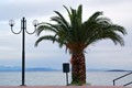 Palm tree in Corfu