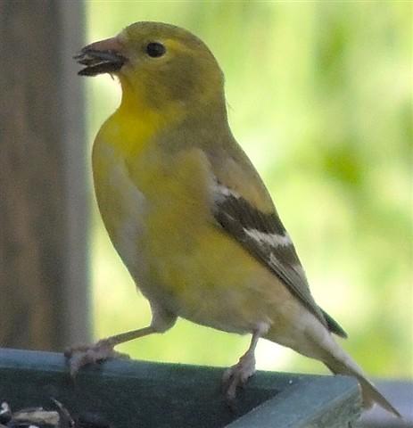 goldfinchcrop