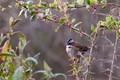 Rufous-collared Sparrow (Zonotrichia capensis), Choquequirao, Peru