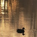 Duck at dawn.