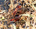 Crayfish takes a peek