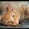 Cat Portrait - 105mm VR-1 small