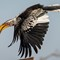 Southern Yellow billed Hornbill-2