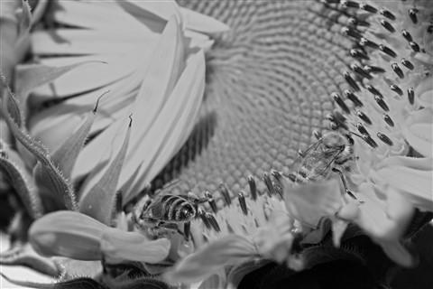 BW sunflowerbbees