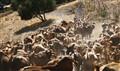 Goatherd in Spain