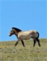 Przewalski Horse...