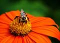 Bumblebee (Bombus) on a Coneflower (Echinacea)