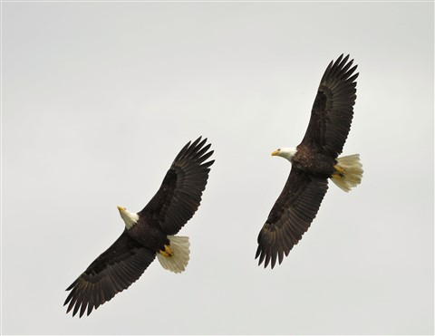 Seabeck, Wa Eagles