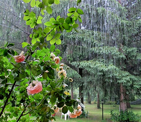 Roses, rain and trees