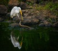 Egret Fights Snake for Fish