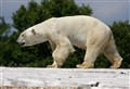 Polar Ice Bear