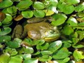 Frog in the lily leaves