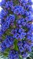 Echium Blossom