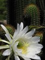 Cactus and its flower