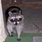 Raccoon at Front Door