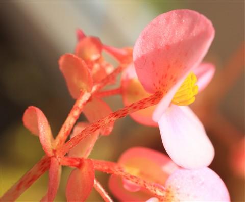 20130305_Bei Darmstadt_029 Meine Knollenbegonie (Begonia tuberhybrida) f8 Blüte von der Seite