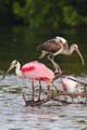 spoonbill and ibis