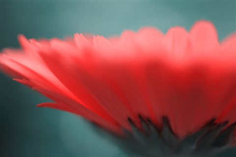 Petals Abstract