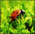 LB  leaf buds ladybird