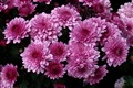 Chrysanthemums - post thundershower