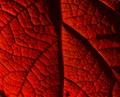 close up of red leaf