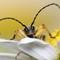 Beetle - Rutpela maculata (Black-and-Yellow Longhorn Beetle) 210704 (3)