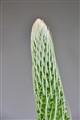 Floral stem- Brasil