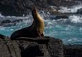 Sea Lion on Espanola Island in the Galapagos