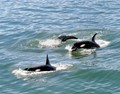 Blue Water Orcas