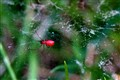 tiny red spider...