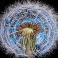 Sparkling Dandelion