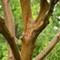 Elm Tree Branches