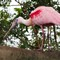 Roseated-Spoonbill